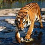 -نمر-2019-معلومات-النمور-كاملة-صور-ميكس-33-150x150 صور نمر 2019 معلومات النمور كاملة