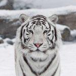 -نمر-2019-معلومات-النمور-كاملة-صور-ميكس-34-150x150 صور نمر 2019 معلومات النمور كاملة