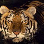 -نمر-2019-معلومات-النمور-كاملة-صور-ميكس-35-150x150 صور نمر 2019 معلومات النمور كاملة