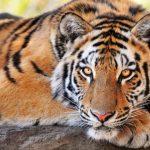 -نمر-2019-معلومات-النمور-كاملة-صور-ميكس-36-150x150 صور نمر 2019 معلومات النمور كاملة