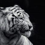 -نمر-2019-معلومات-النمور-كاملة-صور-ميكس-37-150x150 صور نمر 2019 معلومات النمور كاملة