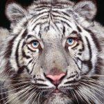 -نمر-2019-معلومات-النمور-كاملة-صور-ميكس-38-150x150 صور نمر 2019 معلومات النمور كاملة