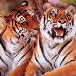 -نمر-2019-معلومات-النمور-كاملة-صور-ميكس-4-150x150 صور نمر 2019 معلومات النمور كاملة