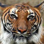 -نمر-2019-معلومات-النمور-كاملة-صور-ميكس-40-150x150 صور نمر 2019 معلومات النمور كاملة