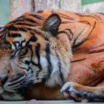 -نمر-2019-معلومات-النمور-كاملة-صور-ميكس-42-150x150 صور نمر 2019 معلومات النمور كاملة
