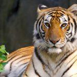 -نمر-2019-معلومات-النمور-كاملة-صور-ميكس-5-150x150 صور نمر 2019 معلومات النمور كاملة