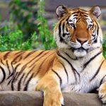 -نمر-2019-معلومات-النمور-كاملة-صور-ميكس-6-150x150 صور نمر 2019 معلومات النمور كاملة