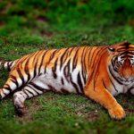 -نمر-2019-معلومات-النمور-كاملة-صور-ميكس-7-150x150 صور نمر 2019 معلومات النمور كاملة