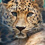 -نمر-2019-معلومات-النمور-كاملة-صور-ميكس-9-150x150 صور نمر 2019 معلومات النمور كاملة