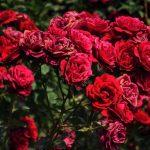 -ورد-أحمر-وفوائد-الورد-الأحمر-صور-ميكس-1-150x150 صور ورد أحمر وفوائد الورد الأحمر