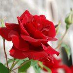-ورد-أحمر-وفوائد-الورد-الأحمر-صور-ميكس-10-150x150 صور ورد أحمر وفوائد الورد الأحمر