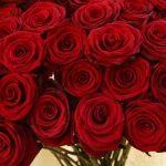 -ورد-أحمر-وفوائد-الورد-الأحمر-صور-ميكس-21-150x150 صور ورد أحمر وفوائد الورد الأحمر