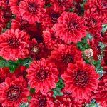 -ورد-أحمر-وفوائد-الورد-الأحمر-صور-ميكس-32-150x150 صور ورد أحمر وفوائد الورد الأحمر