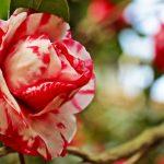 -ورد-أحمر-وفوائد-الورد-الأحمر-صور-ميكس-43-150x150 صور ورد أحمر وفوائد الورد الأحمر