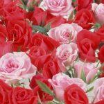 -ورد-أحمر-وفوائد-الورد-الأحمر-صور-ميكس-51-150x150 صور ورد أحمر وفوائد الورد الأحمر
