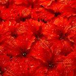 -ورد-أحمر-وفوائد-الورد-الأحمر-صور-ميكس-53-150x150 صور ورد أحمر وفوائد الورد الأحمر