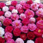 -ورد-أحمر-وفوائد-الورد-الأحمر-صور-ميكس-54-150x150 صور ورد أحمر وفوائد الورد الأحمر