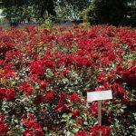 -ورد-أحمر-وفوائد-الورد-الأحمر-صور-ميكس-55-150x150 صور ورد أحمر وفوائد الورد الأحمر