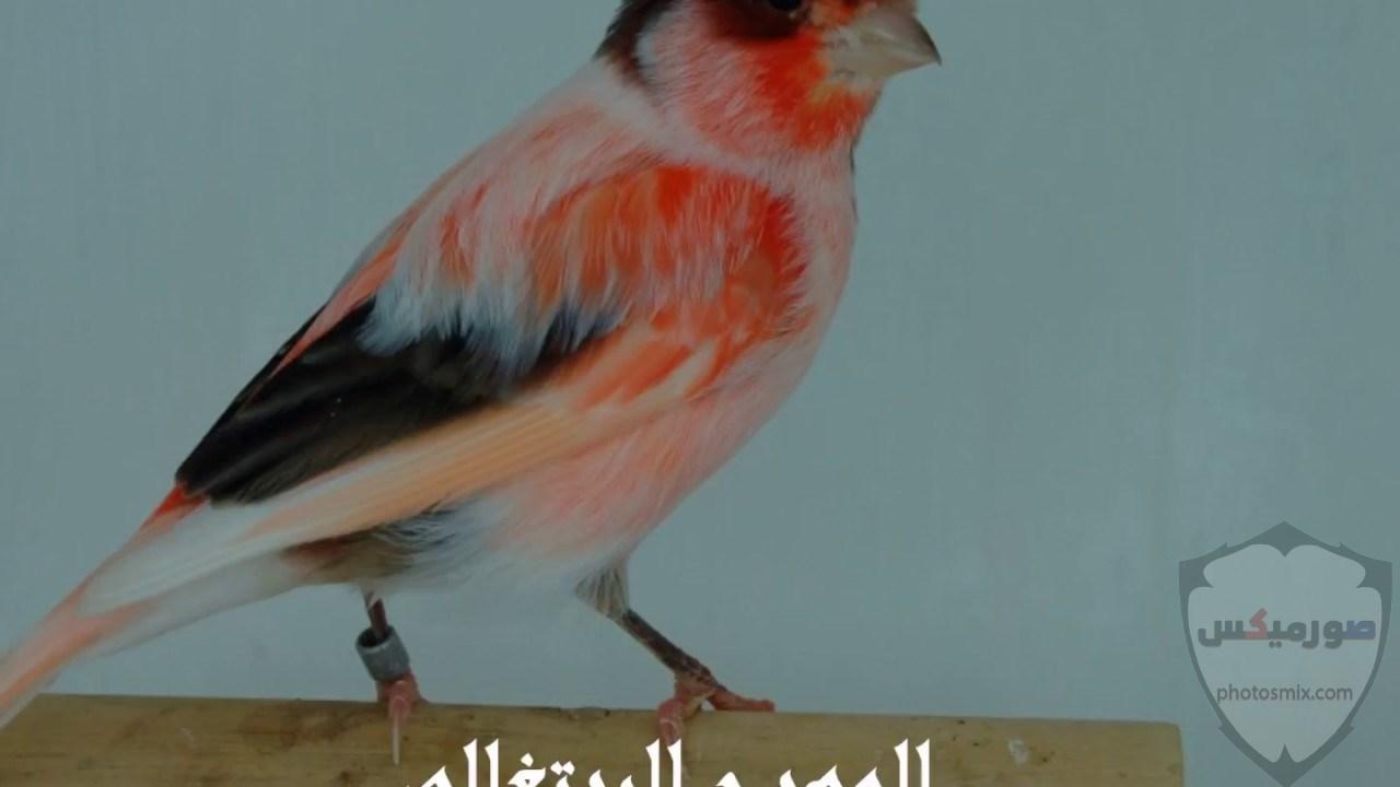 عصافير جميلةاجمل عصافير الحبأجمل طيور العالم بالصوراجمل الصور عصافير كناري 4