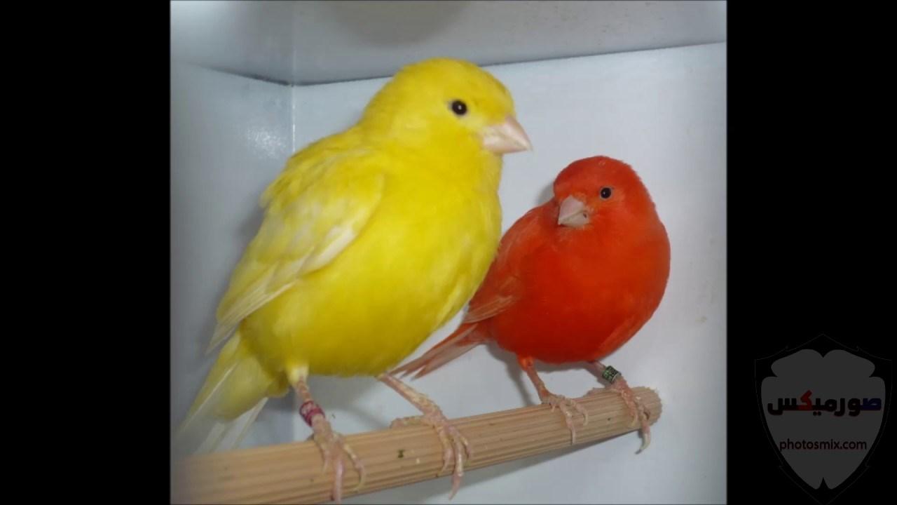 عصافير جميلةاجمل عصافير الحبأجمل طيور العالم بالصوراجمل الصور عصافير كناري 5