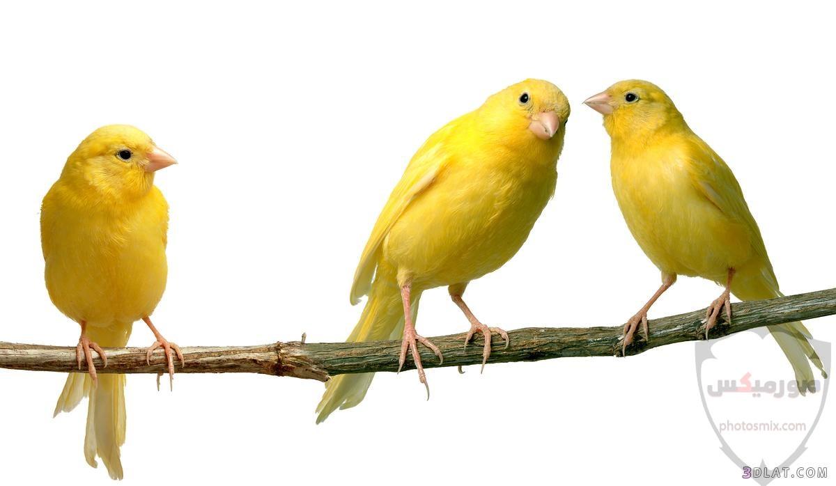 عصافير جميلةاجمل عصافير الحبأجمل طيور العالم بالصوراجمل الصور عصافير كناري 7