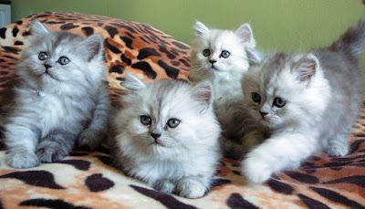 معلومات عن القطط 1