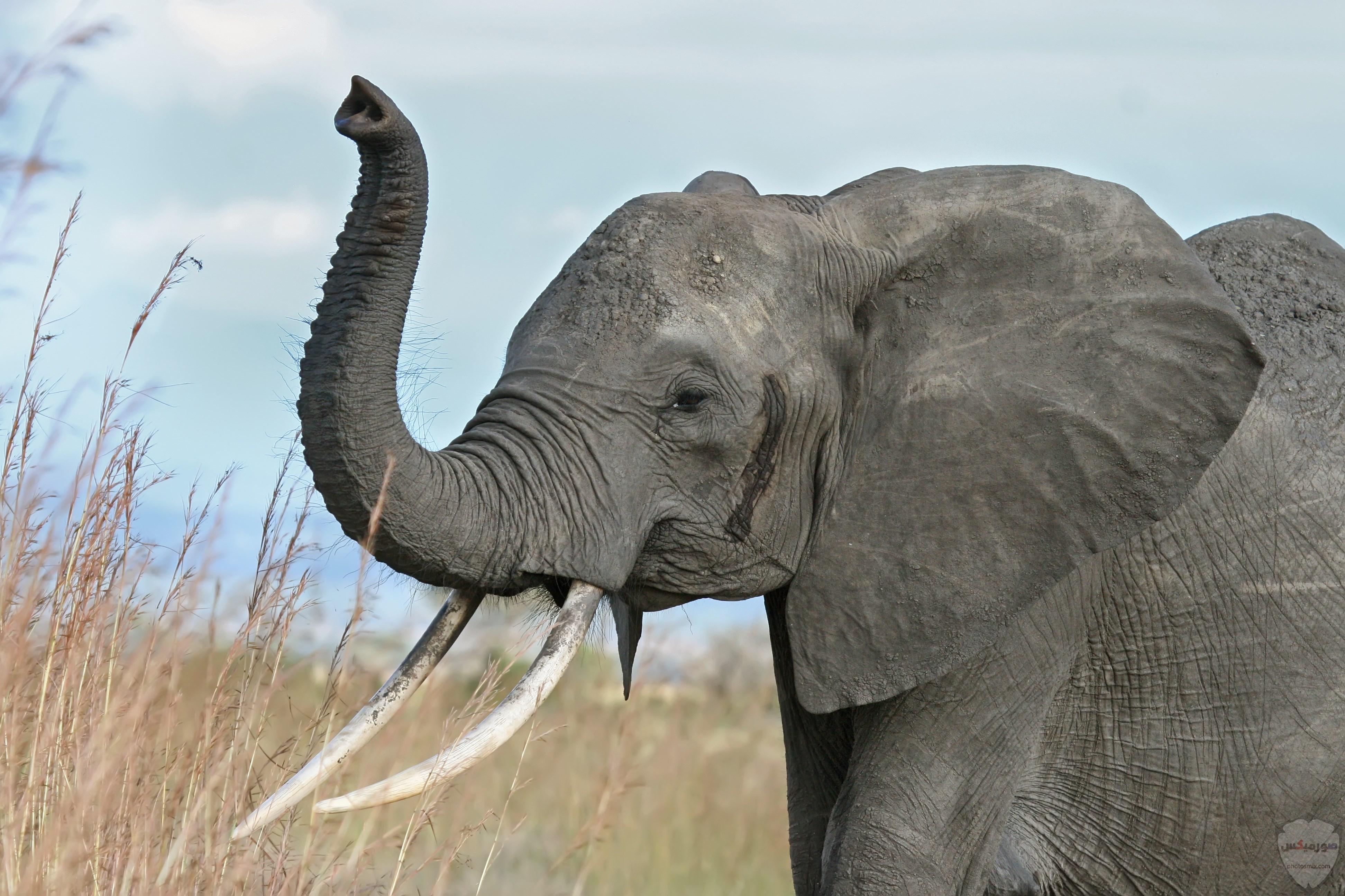 صور افيال أجمل صور فيل 2020 3