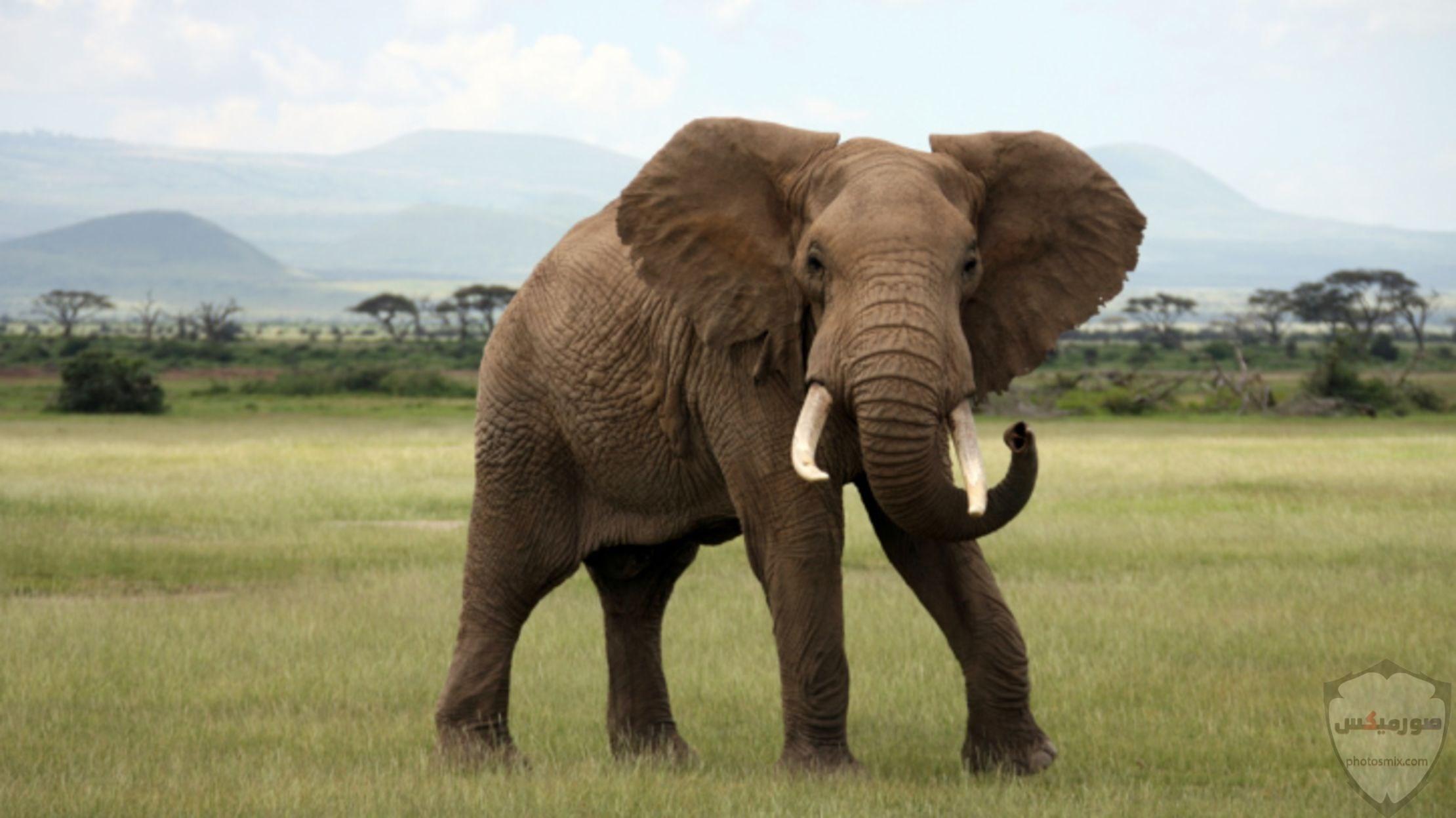 صور افيال أجمل صور فيل 2020 5