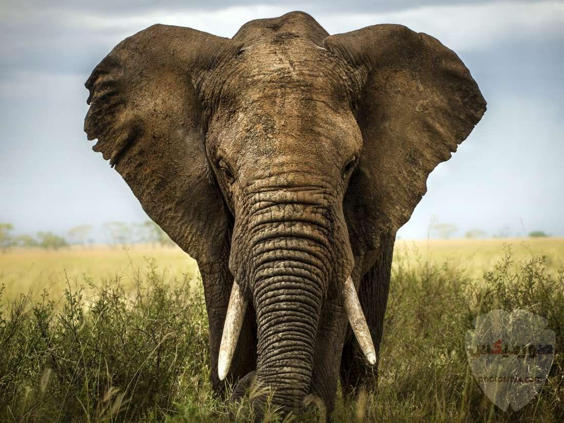 صور افيال أجمل صور فيل 2020 6