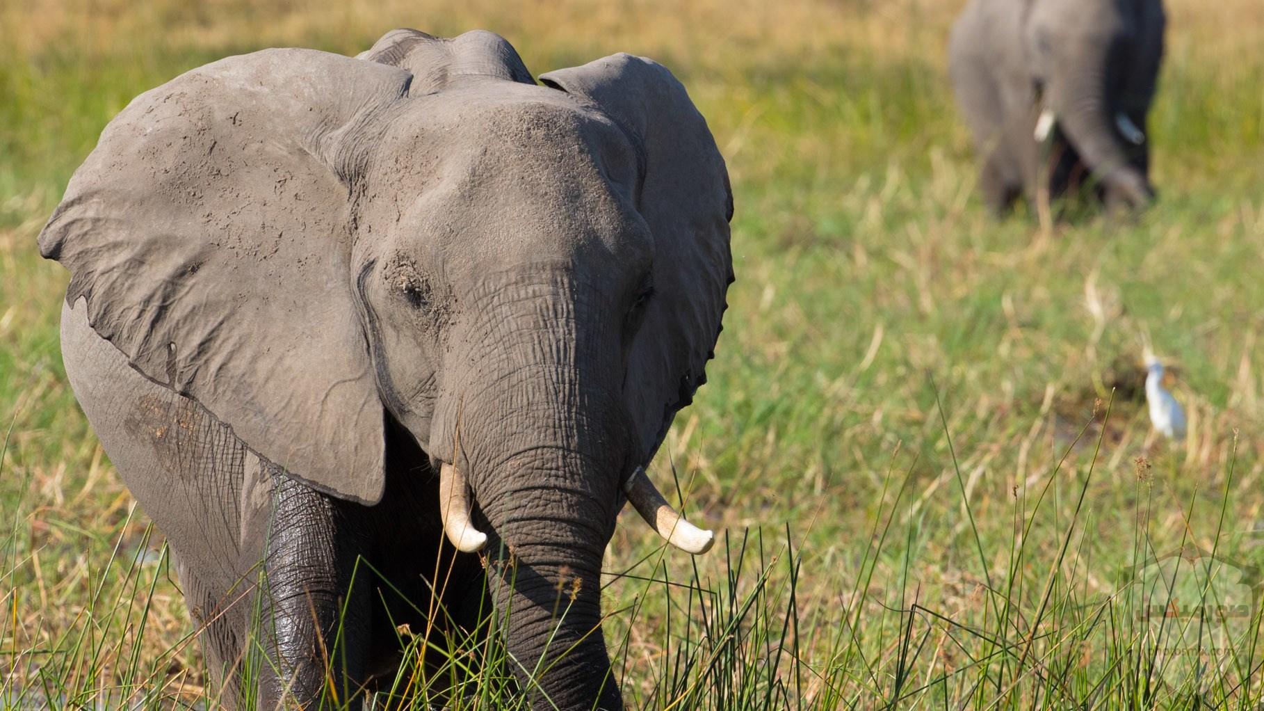 صور الفيل لمحبي الحيوانات وخصوصا الفيل سنقدم لكم مجموعة صور رائعة وجميلة جدا عن حيوان الفيل 1