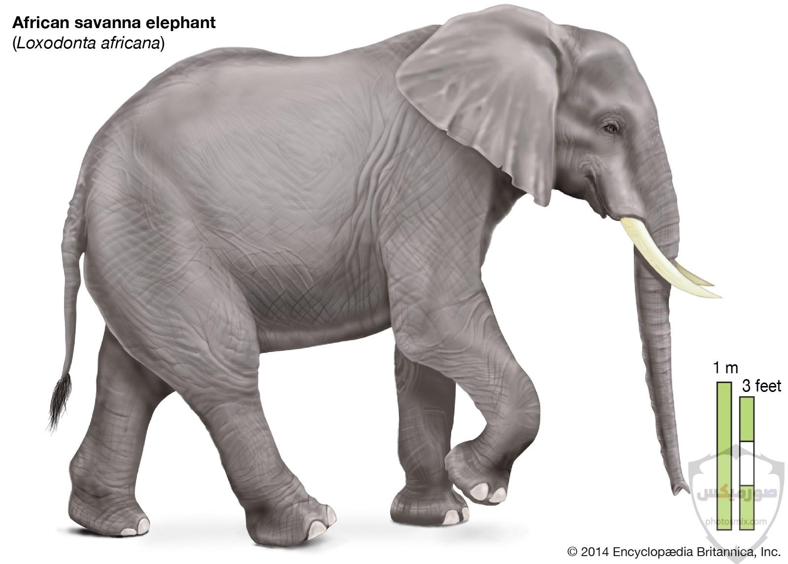 صور الفيل لمحبي الحيوانات وخصوصا الفيل سنقدم لكم مجموعة صور رائعة وجميلة جدا عن حيوان الفيل 10