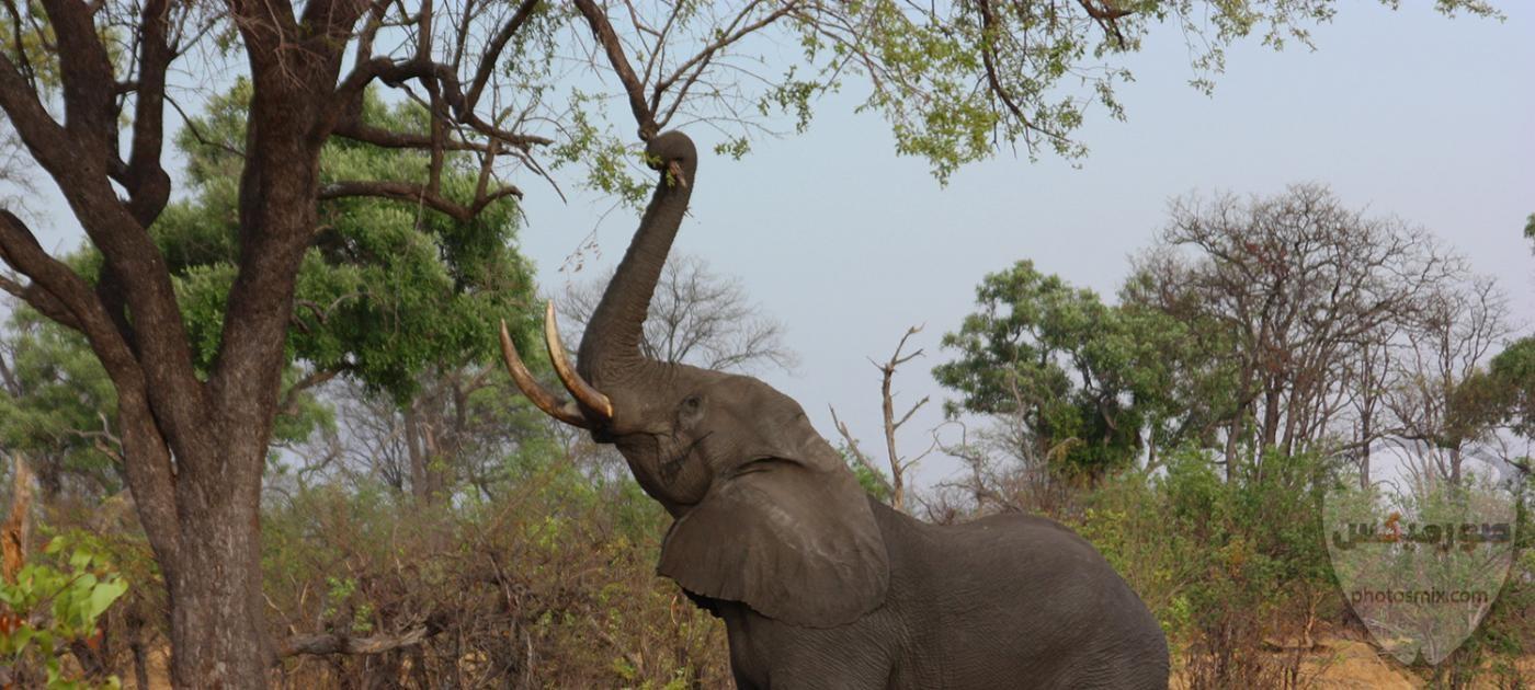 صور الفيل لمحبي الحيوانات وخصوصا الفيل سنقدم لكم مجموعة صور رائعة وجميلة جدا عن حيوان الفيل 3