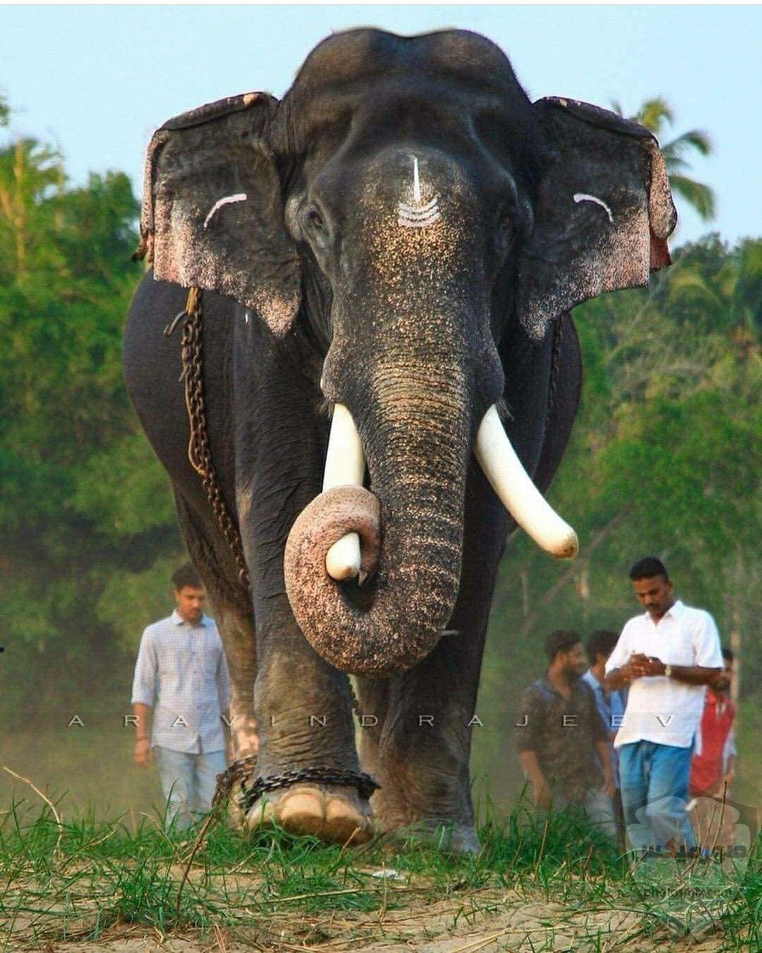 صور الفيل لمحبي الحيوانات وخصوصا الفيل سنقدم لكم مجموعة صور رائعة وجميلة جدا عن حيوان الفيل 5