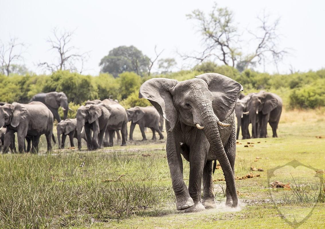 صور الفيل لمحبي الحيوانات وخصوصا الفيل سنقدم لكم مجموعة صور رائعة وجميلة جدا عن حيوان الفيل 6