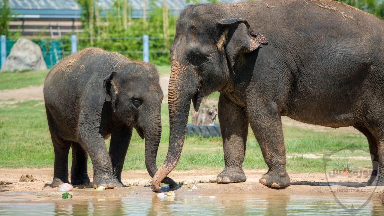 صور الفيل لمحبي الحيوانات وخصوصا الفيل سنقدم لكم مجموعة صور رائعة وجميلة جدا عن حيوان الفيل 8