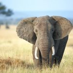 صور وخلفيات الفيل ومعلومات كاملة عن الفيل 1