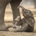 صور وخلفيات الفيل ومعلومات كاملة عن الفيل 12