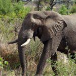 صور وخلفيات الفيل ومعلومات كاملة عن الفيل 13