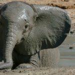 صور وخلفيات الفيل ومعلومات كاملة عن الفيل 15