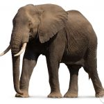 صور وخلفيات الفيل ومعلومات كاملة عن الفيل 17