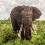 صور وخلفيات الفيل ومعلومات كاملة عن الفيل 19