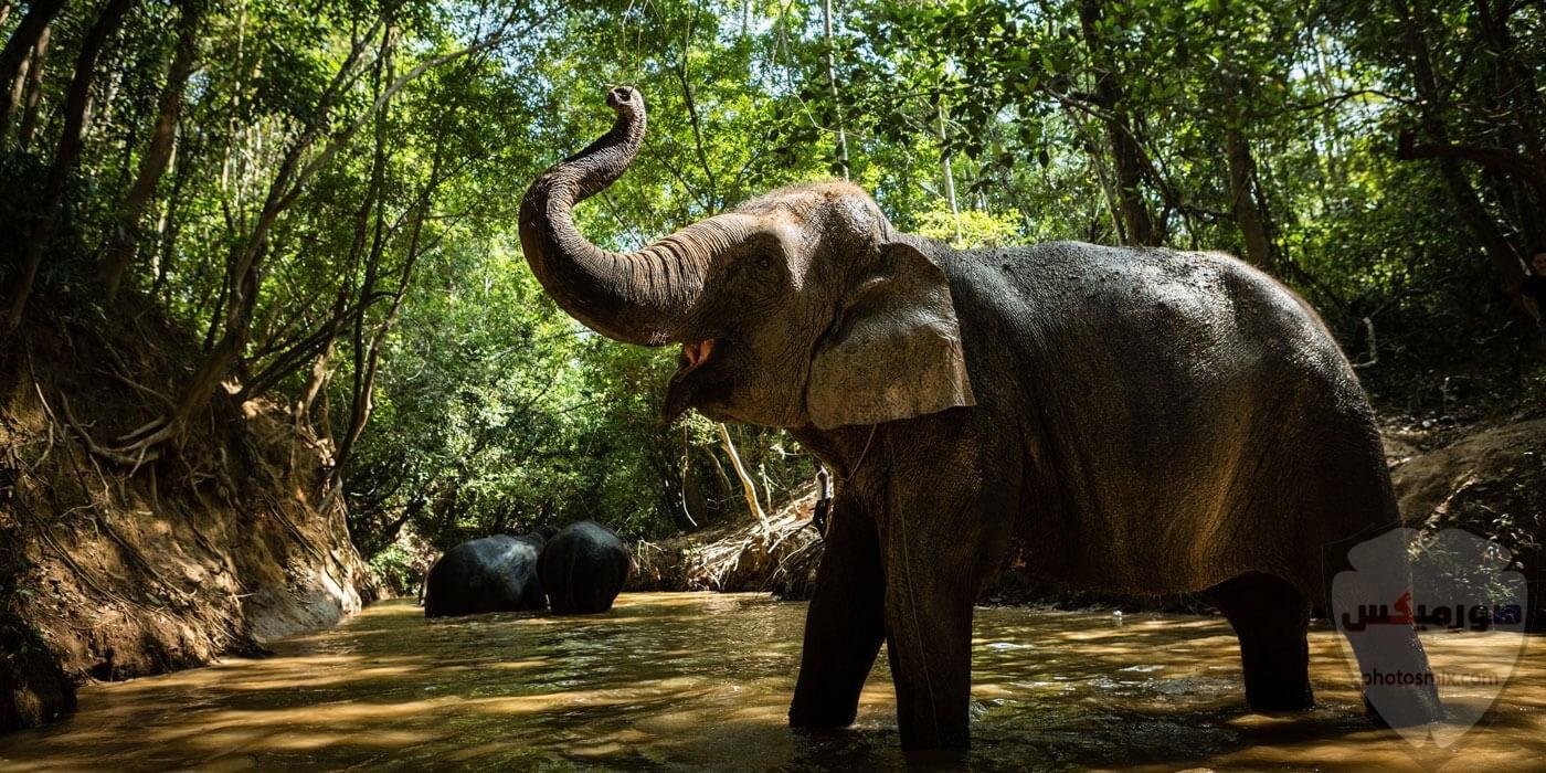 صور وخلفيات الفيل ومعلومات كاملة عن الفيل 29 1