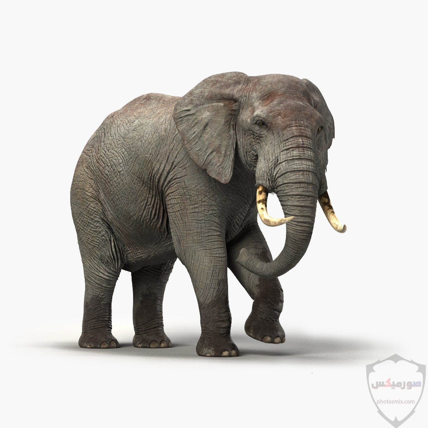 صور وخلفيات الفيل ومعلومات كاملة عن الفيل 30 1