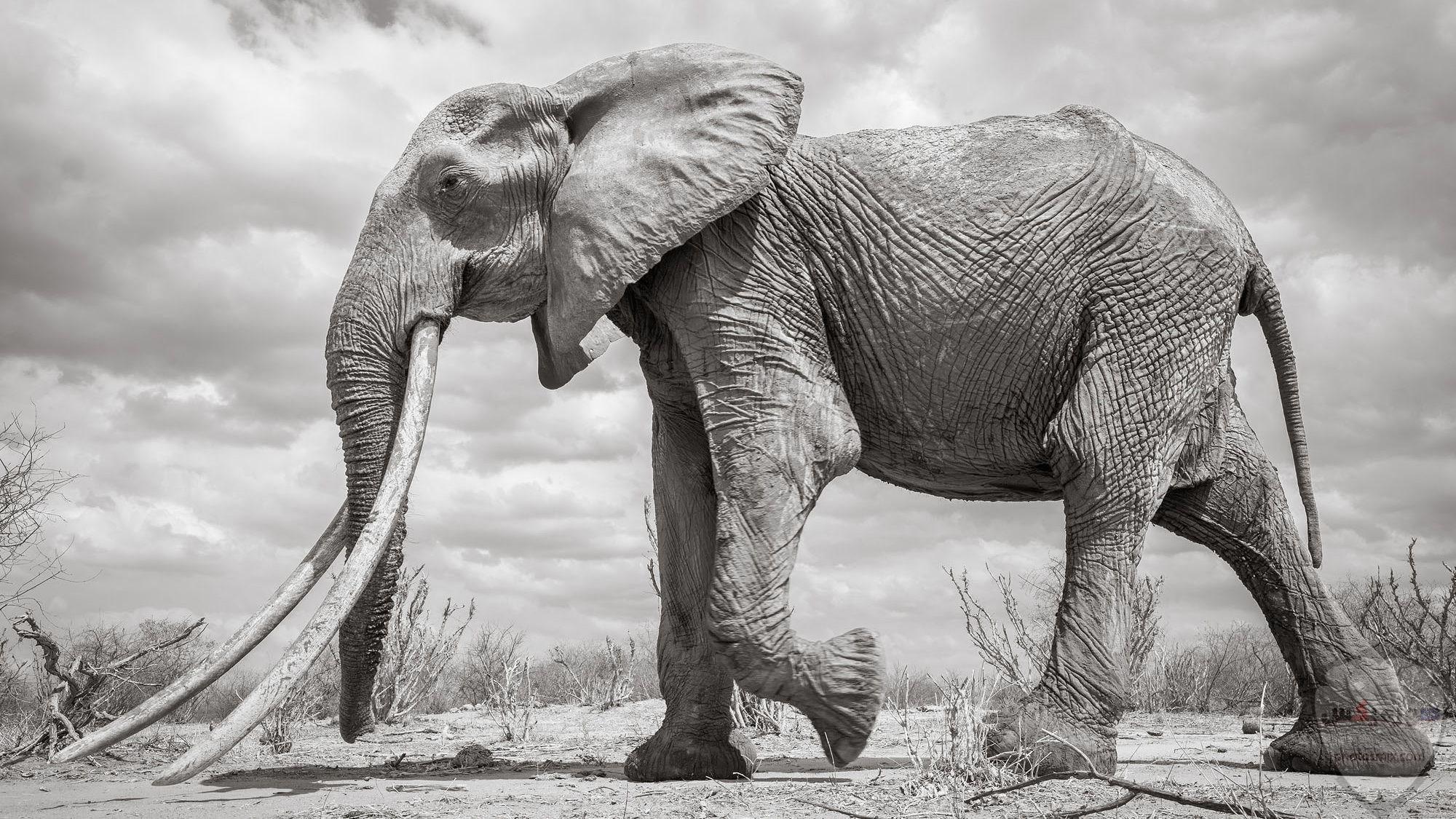 صور وخلفيات الفيل ومعلومات كاملة عن الفيل 31 1