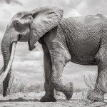 صور وخلفيات الفيل ومعلومات كاملة عن الفيل 31