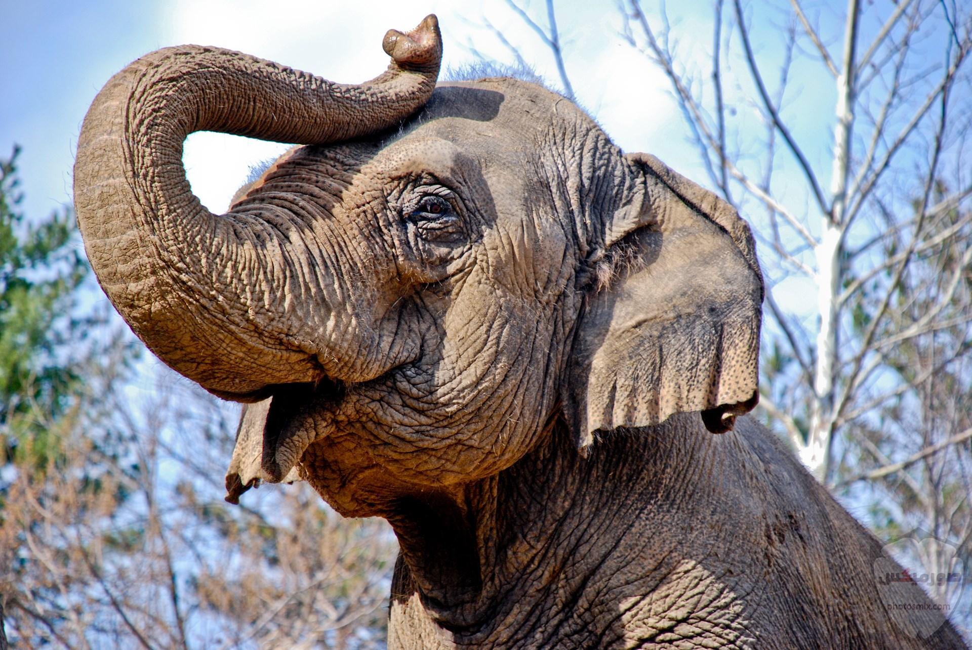 صور وخلفيات الفيل ومعلومات كاملة عن الفيل 32 1