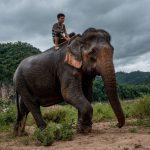صور وخلفيات الفيل ومعلومات كاملة عن الفيل 5