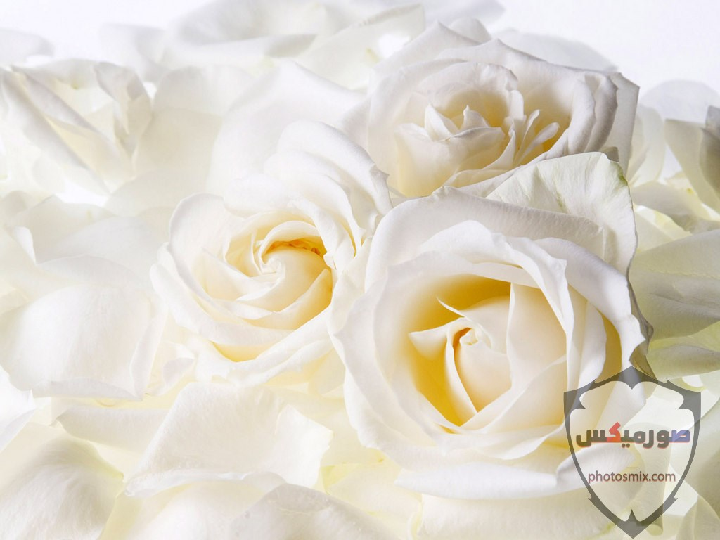خواطر رائعة عن الورود 1