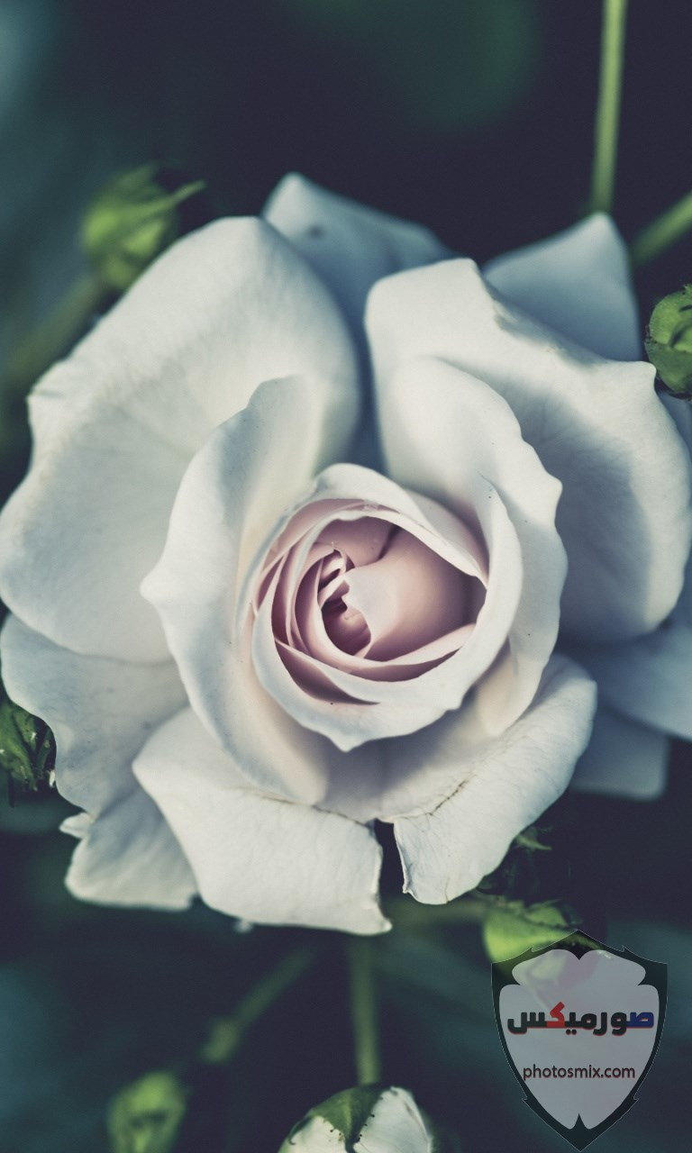 خواطر رائعة عن الورود 16