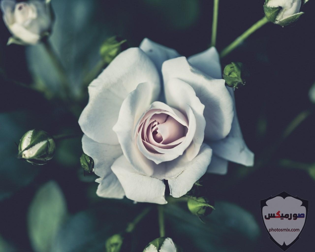 خواطر رائعة عن الورود 17